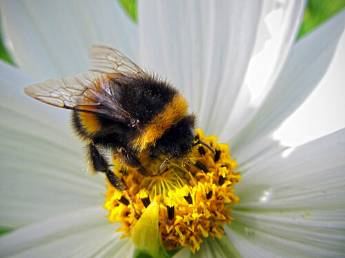 An image of a bumble bee in a daisy