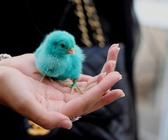 This is an image of a chick that is the same colour as the Twitter logo in a person's hand. It is relevant to social media strategy.